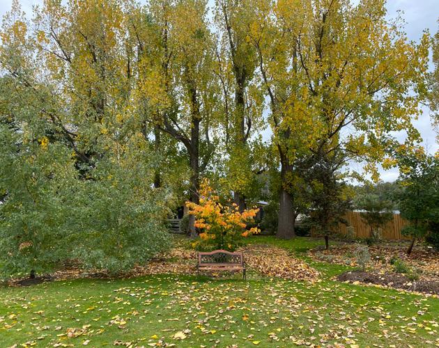 poplar trees in garden